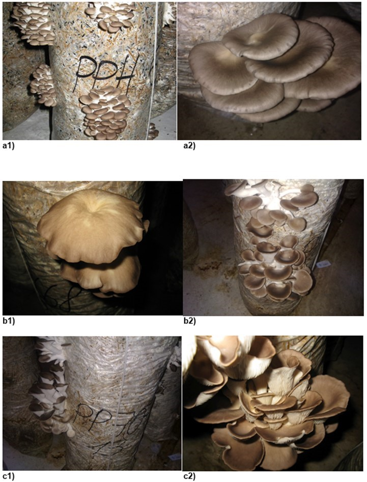 Assessment of the growth and fruiting of 19 oyster mushroom strains